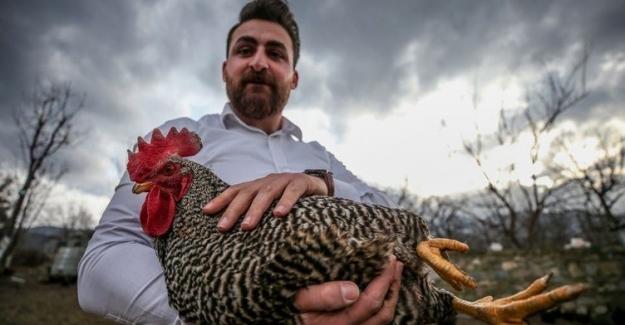 Tavuklara Mozart Dinletti, Yumurta Sayısı  Yüzde 20 Artış Gösterdi