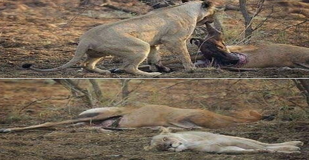 'Dişi aslan avladığı ceylanı yemeye başlarken karnında yavrusu olduğunu fark eder.
