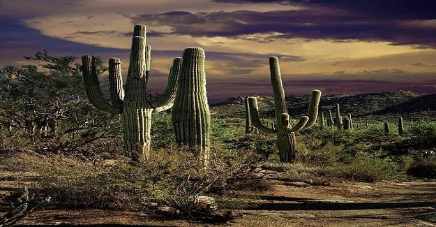 Meksika'da çölde yetişen bir tür kaktüs var.