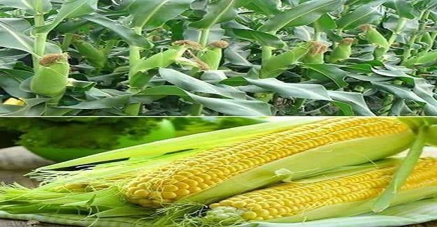 Mısır yetiştiren bir çiftçi, her yıl en kaliteli mısır ödülünü alırmış.