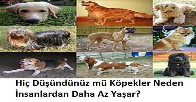 Hiç Düşündünüz mü Köpekler Neden İnsanlardan Daha Az Yaşar?