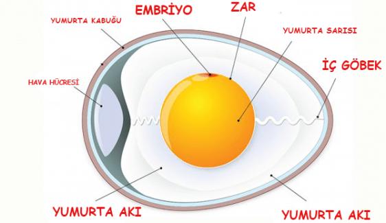 Yumurtanın Anatomisi