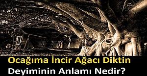 İncir Ağacı Neden Tehlikeli Bir Ağaçtır? Ocağıma İncir Ağacı Diktin Deyiminin Anlamı Nedir?