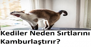 Kediler Neden Sırtlarını Kamburlaştırır?